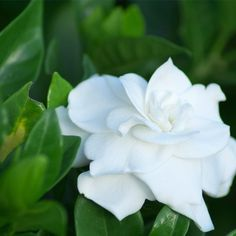 Control the temperature on the gardenia bush. Gardenia bushes stop blooming once the daytime temperature reaches around 80 degrees. Likewise, gardenias do not like cold temperatures. Gardenia Care, Gardenia Bush, White Gardenia, Gardenia Perfume, Bloom, Plante Jasmin, White Flowers, Beautiful Flowers, Plantation
