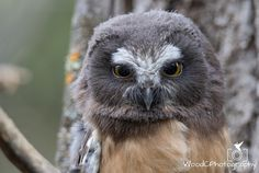 Saw Whet Baby Owl by Christopher Wood - Photo 210729831 / 500px