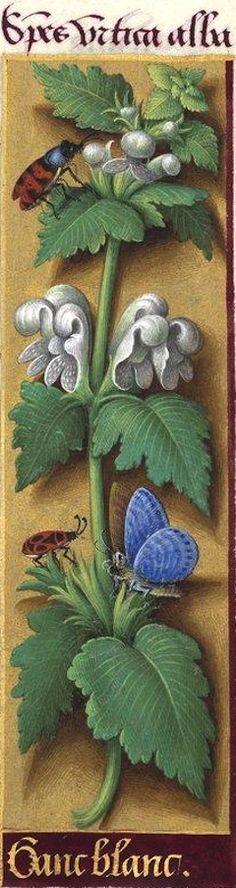 """Ganc blanc - Species urtica alba (Lamium album L. = lamier blanc, ortie blanche -- """"ganc"""" aurait dû être écrit """"gant"""") -- Grandes Heures d'Anne de Bretagne, 1503-1508."""