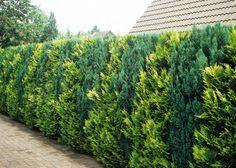Lebensbaum-Hecke Thuja occidentalis wirkt auch unbeschnitten.