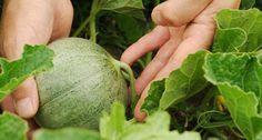 Melonen selber anbauen - Mein schöner Garten Hierzulande verbinden wir mit Melonen Sommer, Sonne und Exotik. Doch wer ein Gewächshaus hat, kann die beliebten Früchte selbst anbauen. Dazu benötigen Sie nur Anzuchttöpfe, Melonensamen und etwas Platz.