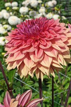 Die Dahlie 'Libeccio' sorgt mit ihrer Farbkombination für staundende Blicke: Von einem zarten Pastellgelb über ein helles Rot und Pink bis hin zu einem Violett-Weinrot hat ihre imposante alles zu bieten. Ein sommerlicher Traum im Garten! Dahlia, Green, Plants, Garden, Beautiful Flowers, Dream Garden, Flowers, Greenhouse, Dahlia Flower