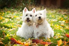 Westies in the fall