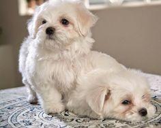 White Maltese Puppies https://www.etsy.com/shop/ArtDesignShop?ref=pr_shop_more