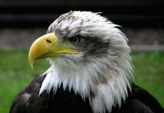 bald eagle adler raptor
