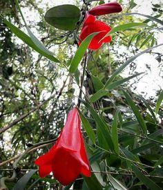 copihue. nuestra flor nacional