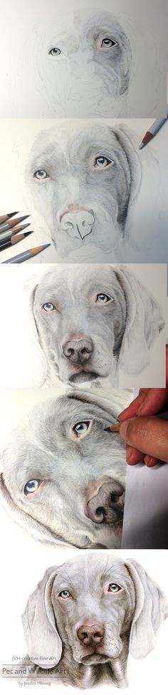 Weimaraner Dog Portrait, step by step coloured pencil drawing by JVH creative Fine Art – Pet and Wildlife Art. Timmy the Weimaraner is available as limited edition print from my website.