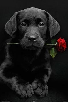 black lab puppy with rose:) man may fail you but your puppy never will!!:)