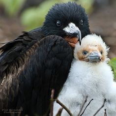 Frigate Bird (Male) With Chick on Darwin Bay, Genovesa, Galapagos Islands