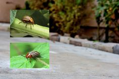 How to Kill Potato Bugs With a Home Remedy -wheat bran?  Worth a try...
