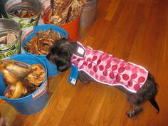 Dax in an RC Pets pink fawn jacket! by The Fish & Bone, via Flickr