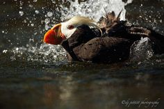Tufted Puffin by  DJ Pettitt