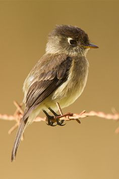 Black-capped flycatcher (Empidonax atriceps) is a very small passerine bird in the tyrant flycatcher family. It is endemic to the highlands of Costa Rica and western Panama.