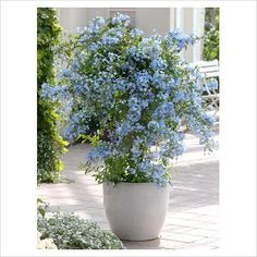 plumbago in containers - Google Search