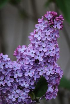 Oh, this so reminds me of home! We had a lavender and a white lilac tree. I remember the scent😍 White Lilac Tree, Purple Lilac, Purple Roses, Garden Trees, Trees To Plant, Amazing Flowers, Beautiful Flowers, Lilac Plant, Lilac Bushes