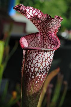 Pitcher plants are carnivorous plants which trap food by means of a pitfall trap built into them through evolutionary design. They can be found in both of the Americas as well as Africa, Asia, and Australia, and usually grow in bogs, marshlands, and  green houses are going to improve our value of life.