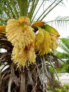 Flor de palma