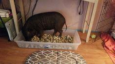 Madeline's rock bed ! #MiniPig #Pig