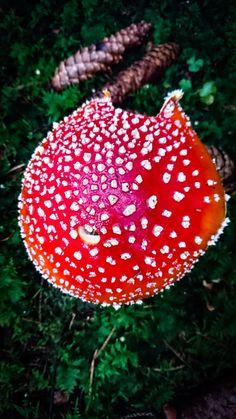 Fliegenpilz Rot Weiß