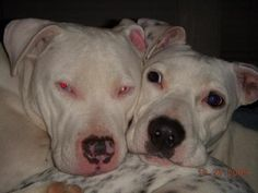 Mindy is an adoptable Pit Bull Terrier Dog in Kennesaw, GA Mindy (left pic) came to us from Fulton County Shelter. The family who orginally adopted her, t ... ...Read more about me on @petfinder.com