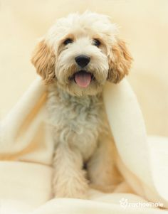 Charlie (Cavoodle) - I have been working undercover.