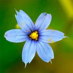 Wildflower Blue-eyed Grass Irish Wild Flora Wildflowers of Ireland