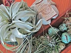 Nancy Wallace of Wallace Gardens shares 'Air Plants' she drenches in Authentic Haven Brand