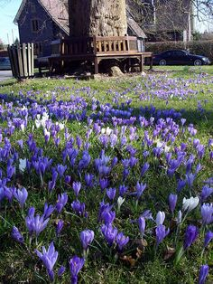 Thick carpet of purple, Crocus at Birlingham,  England