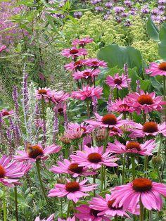 Echinacea in Oudolfs Garten | Flickr - Photo Sharing!