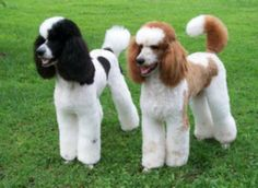 Parti Standard Poodles, Canine Horizons, canine acting