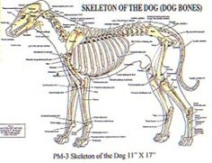 PetMassage Skeleton of the Dog (Dog Bones) Chart *** See this great image (This is an affiliate link and I receive a commission for the sales) Dog Skeleton, Skeleton Bones, Dog Anatomy, Dog Health Tips, Dog Bones, Dog Costumes, Continuing Education, Pet Care, Pet Supplies