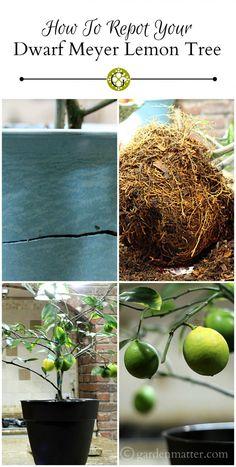 Learn how to repot your Dwarf Meyer Lemon tree. ~ gardenmatter.com