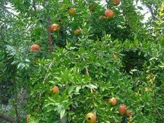 Planting Pomegranate Trees: How To Grow A Pomegranate Tree From Seeds | Gardening Know How