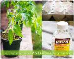 alannarene: fish heads, aspirin, egg shells and more; growing amazing tomato plants, gardening tips