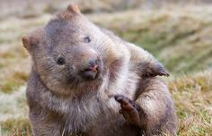 In Australia, cosying up to the wombat | canada.com