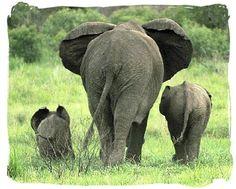 Ter um elefante de enfeite, sobre um móvel qualquer, sempre com a tromba erguida mas de costas para a porta de entrada, evita a falta de dinheiro