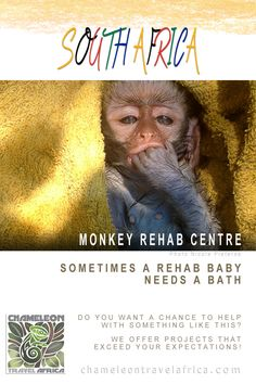 The project has been involved in primate rehabilitation since 1995. Their main aim is to rehabilitate and release troops of vervet monkeys in natural areas, but they have been receiving many other animal and bird species as well. Any orphaned and/or injured animal gets treated at the centre, and when healed or strong enough, they release them back to their natural habitat. #monkey #rehab #primate #volunteer #intern