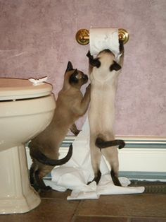 """Teamwork: """"Roll on ~ and let the good times roll!"""" These two Siamese cat are double trouble with a toilet roll."""