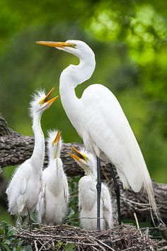 Great Egret, Common Egret or Great White Egret (Ardea alba) - found in Asia, Africa, the Americas and southern Europe. Pretty Birds, Love Birds, Beautiful Birds, Animals Beautiful, Bird Pictures, Animal Pictures, White Egret, Mundo Animal, Big Bird
