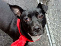 Meet HOT WALKER a Petfinder adoptable Labrador Retriever Dog | New York, NY | A volunteer writes: Hot Walker reminds me of a  giant Chihuahua, all shiny in her ebony coat. I...