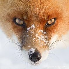 Close-up of a Red Fox after playing in the snow