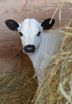 I had a cow like this once. all her babies came out and look just like her :)