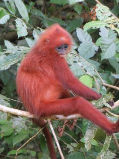 Near Gomantong Caves, Sabah, Malaysia. Maroon Langur Monkey | Flickr - Photo Sharing!