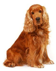 cães da raça cocker spaniel - Pesquisa Google