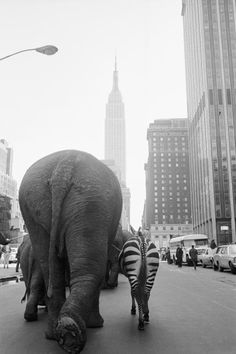 02 Apr 1968, Manhattan, New York City, New York State, USA --- A troupe of elephants and a zebra walk down 33rd Street in Manhattan, hearlding the arrival of Ringling Brothers and Barnum & Bailey Circus. --- Image by © Bettmann/CORBIS