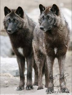 Bold Visions Conservation Wolves