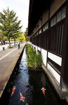 Carp stream in Tsuwano. Tsuwano is located in the westernmost part of Shimane Prefecture. It is a castle town, developed along the Tsuwano-gawa River and surrounded by nature.