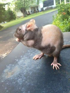 """Patchwork Double Rex Rat """"I swear I don't have radiation poisoning or the plague, I'm just a mutant!"""" ;P"""