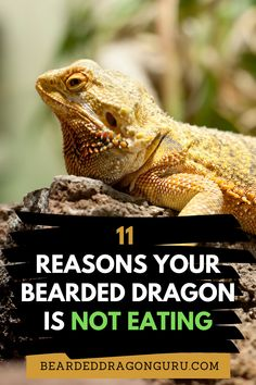 It can be quite concerning if your bearded dragon is not eating and there could be a whole host of different reasons for their loss in appetite. It may, however, come as a reassurance that these moments of sudden and short loss of appetites are not actually too uncommon.  #beardeddragons #beardeddragonhealth #beardeddragondiet #foodsforbeardeddragon Bearded Dragon Heat Lamp, Bearded Dragon Substrate, Bearded Dragon Food List, Bearded Dragon Habitat, Bearded Dragon Supplies, Pet Lizards, Dragon Tail, The Lone Ranger, Reptiles And Amphibians
