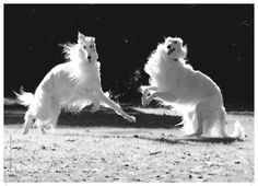 borzoidaily:  Two borzois playing. They look like magical fairy ponies.